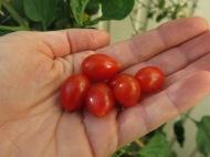 26-juli-16-tomat-cherry-roma
