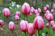 11 maj 17 tulpan pink impression2