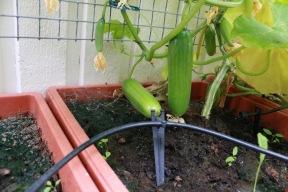 1 juli 17 gurka växthus