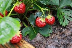 1 juli 17 jordgubbar fårull