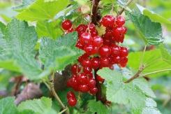 1 juli 17 röda vinbär