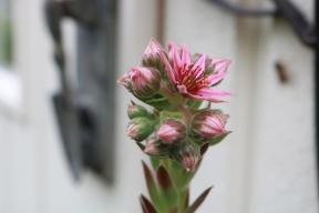 1 juli 17 sedum blomma