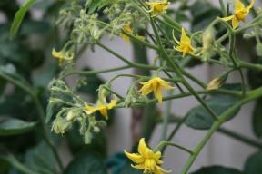 1 juli 17 tomater blommor