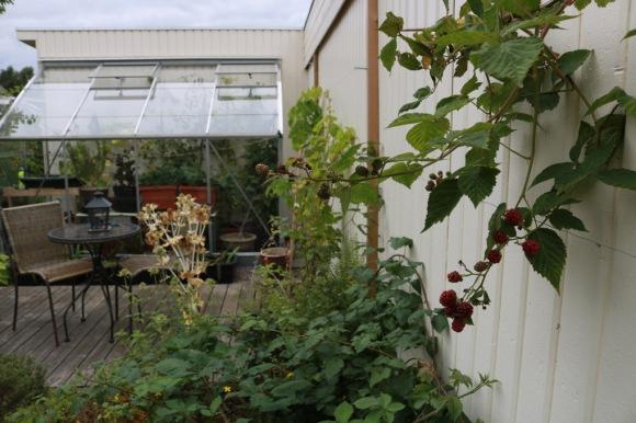 27 aug 17 växthus björnbär