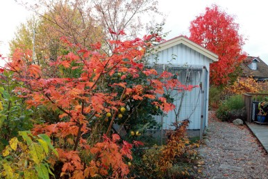 17 okt 17 Acer japonicum Acontifolium ullungrönn Dodong