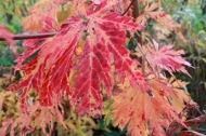 17 okt 17 Acer japonicum Solfjäderslönn. _Acontifolium_