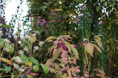 17 okt 17 glasbärsbuske höstaster