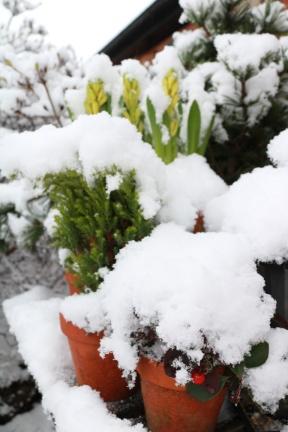 20 jan 18 snö hyacint 2