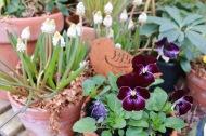 25 mars 18 penséer vit pärlhyacint
