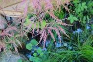 15 sep 18 Japansk lönn Acer palmatum 'Tamukeyama'