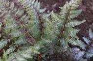 15 sep 18 regnbågsbräken Athyrium niponicum 'Burgundy Lace_