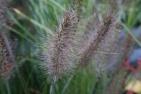 7 sep 18 dunborstgräs