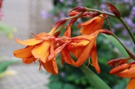 7 sep 18 orange crocosmia
