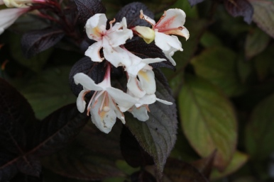 7 sep 18 weigela ebony and ivory