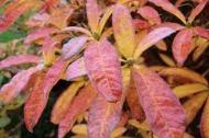 21 okt 18 höstfärger azalea