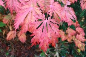 21 okt 18 höstfärger solfjäderslönn acer japonicum 'Acontifolium'