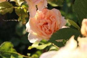 28 juni 19 ros a shopshire lad