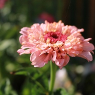 18 juli 19 zinnia cupcake pink shades 1