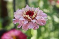 18 juli 19 zinnia cupcake pink shades 2