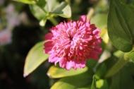 18 juli 19 zinnia cupcake pink shades 3