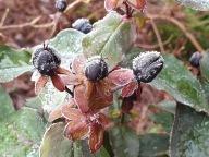 1 dec 19 frost hypericum