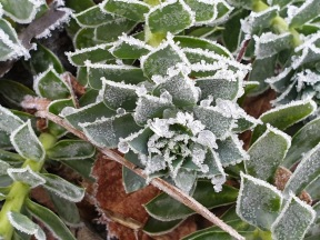 1 dec 19 frost myrtentörel