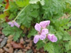14 nov 20 erodium