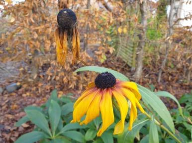 14 nov 20 sommarrudbeckia Gloriosa daisies